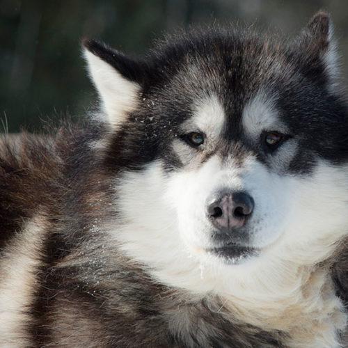 mekoos chien traineau
